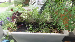 Porch box w ferns, oxalis and pansies (bylaurenfitz) Tags: garden july ferns pansies frontporch oxalis 2015 containergardening