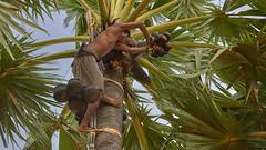 Always at the top (cyril4494) Tags: man tree nikon coconut climbing myanmar arbre homme escalade 80200 noixdecoco birmanie d700 escalader