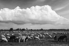 Luoghi della pianura (beppeverge) Tags: blackandwhite rural country sheeps biancoenero pecore italianlandscape gregge pianurapadana beppeverge