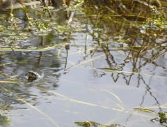 Ringelnatter in einem Wasserlauf des Wurzacher Riedes - Anfangs April, NGID741061756 (naturgucker.de) Tags: ringelnatter natrixnatrix naturguckerde 915119198 964235129 1998323416 cbernhardschner ngid741061756