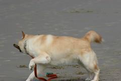 All Photos-9279 (jlh_lunasea) Tags: dog beach romeo manzanita huskador