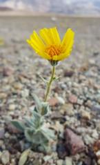 Wildflowers in Death Valley