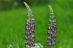 Lupine (Lupinus angustifolius) (natureloving) Tags: flower macro nature nikon lupine d90 lupinusangustifolius afsvrmicronikkor105mmf28gifed natureloving flowersinfrance flowersineurope fleursenfrance