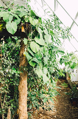 Sobremesa Farm (aubreyrose) Tags: plants farm indiana growth soil greenhouse produce local passiflora bloomington permaculture sobremesa farmbloomington passionflowertree sobremesafarm