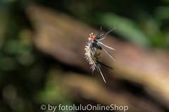 Argentinien_Insekten-80 (fotolulu2012) Tags: tierfoto