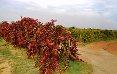 Vines_Houghton Vineyard & Winery_Swan Valley_DSC_0980_stitch_3_D (renrut01) Tags: vineyard swan vines colours australia winery valley perth grapes western houghton