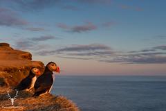Atlantic Puffins (James Shooter) Tags: sunset sea summer evening coast scotland iceland spring dusk may coastal puffin sideview seabird atlanticpuffin fraterculaarctica auk latrabjarg