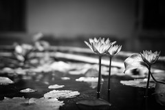 Royal water garden lilies (Gabe_D) Tags: flower blackwhite pentax vietnam waterlilies f18 hue k3 imperialcity tuductomb fa31mmlimited