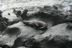IMG_7615 (chupalo) Tags: sealions lavarocks islasplaza