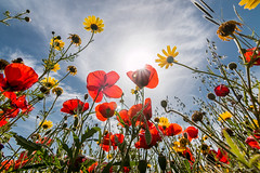 Spring (Bruno Frerejean (Bruno Mallorca)) Tags: primavera spring spain poppies mariposas mallorca printemps amapolas coquelicots wideangular grandangle fleursdeschamps