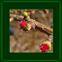 Tamarack - Mlze larcin - Larix laricina (Ontario Wanderer) Tags: tamarack larixlaricina mlzelarcin