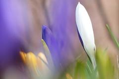 Krokus  ( in Explore ) (evisdotter) Tags: white flower macro colors spring bokeh crocus bud blommor krokus sooc