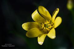Ficaria stepporum (svetlo_vsem) Tags: flowers plant flower macro nature field yellow petals spring nikon outdoor first stamens d750 depth primrose ficaria 6028g stepporum