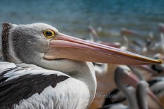 Australian pelican (Syahrel Azha Hashim) Tags: trip travel light vacation holiday detail bird beach pelicans colors birds animal closeup 50mm prime eyes nikon colorful dof feeding getaway details beak feathers naturallight australia melbourne scene victoria handheld destination shallow phillipisland moment activity aussie simple touristattraction sandybeach animalfeeding australianpelicans pelicansfeeding d300s syahrel