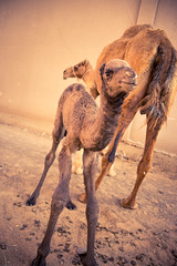 two days young and up on his own legs! (iSteven-ch) Tags: travel canon uae mother camel abudhabi alain unitedarabemirates ae babycamel camelsouk eos6d