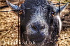 Hello... (johnbliss1776) Tags: smile animals outside happy outdoor farm goat ears farmland ear smilng pentaxlife smilngatme happierthanagoat