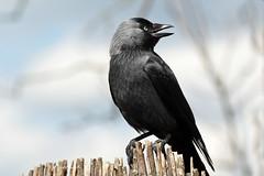 Western  Jackdaw (K.Verhulst) Tags: bird birds ngc vogels npc vogel jackdaw kauw westernjackdaw