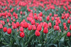 (102/366) Tulpen (129/365) (MJ Klaver) Tags: red flower green spring tulips bokeh thenetherlands photoaday drenthe 135mm sonnar carlzeissjena primelens project365 oldlens ausjena manualfocuslens project366 carlzeissjenasonnar135mmf35 day102366 366the2016edition 3662016 carlzeissjenasonnar135mmf35mcred 11apr16