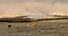 Ousby fell and Crossfell 28 April 2016 (fellsiders) Tags: sheep sundown cumbria lambs pennines aprilsnow crossfell