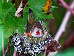 Rufous Hummingbird, Snoqualmie Valley, WA 4/28/16 (LJHankandKaren) Tags: hummingbird stillwater rufoushummingbird snoqualmievalley