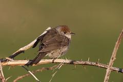 Blackcap (Sylvia atricapilla) F (drbut) Tags: nature birds countryside wildlife avian songbird blackcap sylviaatricapilla sylviidae warblersandallies