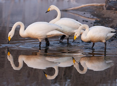 Japan (richard.mcmanus.) Tags: bird animal japan hokkaido swans gettyimages mcmanus whooperswans lakekussharo