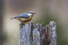 Picchio muratore (wolfman1908) Tags: wild nature wildlife natura bosco avifauna naturalmente lipu roseg
