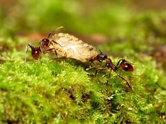Flat Bug Barbecue Tonight (treegrow) Tags: nature insect washingtondc ants rockcreekpark arthropoda hymenoptera formicidae lifeonearth raynoxdcr250 aphaenogasterfulva canonpowershotsx40hs taxonomy:binomial=aphaenogasterfulva