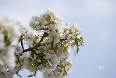 and...pear-blossom 3 (hub en gerie) Tags: white garden spring pear pearblossom tuin lente peer bloem perenbloesem allnaturesparadise