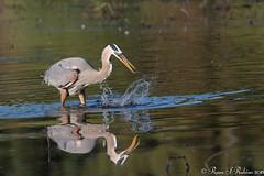 Rubino Great Blue Heron fishing 20160403 Lindo Lake CA 457 (Ryan Rubino) Tags: ca blue lake fish heron fishing great flight ardea lindo behavior herodias lunging predatory
