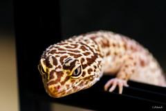 Paki (I.Abad) Tags: leopardo bell leopard albino gecko leopardgecko reptil paki geckoleopardo bellalbino