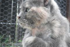 Matilda (Matilda&Charlie&Josie ~ MCJ) Tags: cat matilda dentalsurgery 10yo greybluecreamtortoiseshell bloodtestsfine treatedherwithvitaminpastethatworked