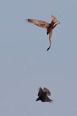 Marsh Harrier defending airspace (Robin M Morrison) Tags: male somerset hide avalon rspb somersetlevels marshharrier rspbhamwall