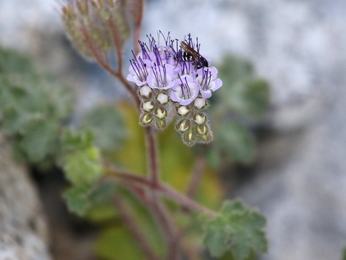 Pedicellate Phacelia (Phacelia pedicellata), Tierra Blanca Mountains, Anza-Borrego Desert, CA, 3-19-16
