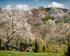 Cherry Dale Revisited (claustral) Tags: trees cherry skåne spring sweden d200 2008 interestingness389 i500 körsbärdalen explore160413