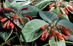 Palmengarten, Sinningia canescens (HEN-Magonza) Tags: nature deutschland flora hessen frankfurt natur palmengarten gemany hesse sinningiacanescens