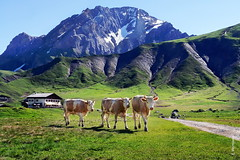 Alpen-Khe (welenna) Tags: blue schnee summer sky mountain snow mountains alps animals switzerland tiere kuh cow swiss berge alpen berneroberland adelboden engstligenalp schwitzerland