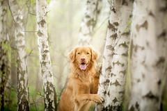 Nature Lover! (Alicja Zmysowska) Tags: dog tree green dogs nova forest duck spring hugging hug retriever birch scotia springtime tolling toller nsdtr
