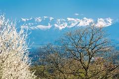 Fruehling im Alpenvorland (bayernphoto) Tags: schnee start bayern bavaria see spring oberbayern verschneit hell berge alpen tutzing starnberger blaetter gruen wandern erste blueten frisch erwachen fruehling ilka dynamik buchen loewenzahn schlehen hoehe
