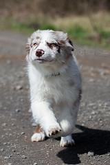 Ivy (StarryEyedAussie) Tags: dog dogs puppy shepherd australian ivy brooke hund aussie hunde welpe aussiebrooke aussieivy