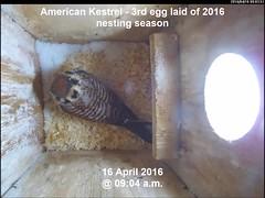 Kestrel - Third Egg Laid of 2016 Nest Season (Darin Ziegler) Tags: urban snow colorado nest coloradosprings americankestrel nestbox sparrowhawk falcosparverius vivotekfd8151vnetworkcamera