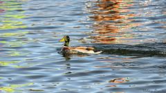 IMG_1260810 (Uday Pratti) Tags: seattle summer redmond sammamish lakesammamish idylwoodpark