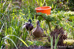 20160417-ROTL2677 Mallard Pair On Pond LC Inkberrow Worcestershire_.jpg (rodtuk) Tags: uk england bird nature places 7d kit worcestershire lc b24 midlands inkberrow phototypes laurelcottage photographicequipmentused