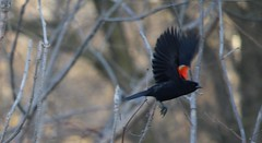 Redwing Black Bird in Flight (Quistian) Tags: toronto canon birding rps blackbird parkland redwing 2016 lowerdon t5i 201604 20160418