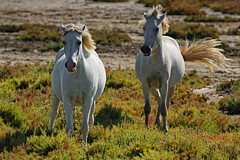 FRANA - Camargue (Infinita Highway!) Tags: trip travel horse white france field animal landscape europa europe sheep outdoor frana viagem cavalos grassland camargue selvagens