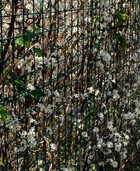 Blossom Fence, HFF (NJKent) Tags: uk fence blossom eastmidlands greatcentralrailway saveearth fencefriday