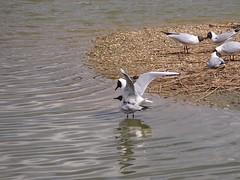 Titchfield Haven, Hampshire 230416 (013) (Photos-Tony Wright) Tags: uk nature birds gulls reserve hampshire april mating 2016 blackheaded titchfieldhaven