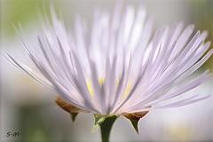Contrasti di luce (Laralucy) Tags: macro closeup ngc natura npc fiore bianco contrasti