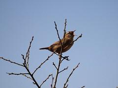 Wren (Wildlife Terry) Tags: naturereserve silverdale aonb rspb leightonmoss sssi wildlifenatureamateurphotography