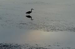 Splash of colour (bichane) Tags: morning canada heron water dawn bc britishcolumbia peaceful vancouverisland sound tofino tranquil clayoquot